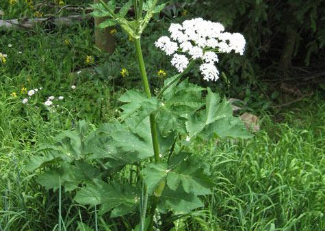 """G'oos """"Cow Parsnip"""" - Traditional Carrier First Nations Vegetables & Medicines"""